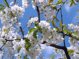 cherry-blossom-476583_640